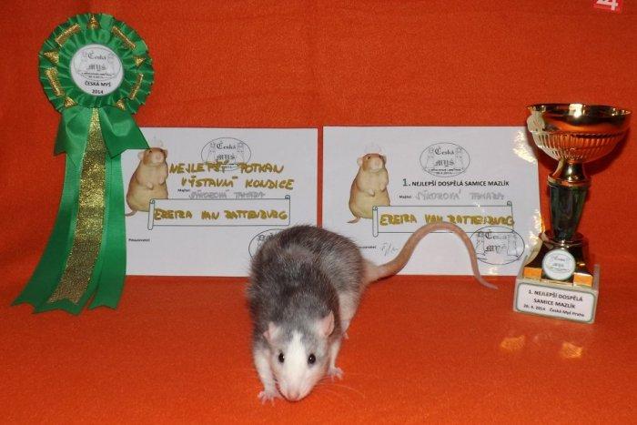 Ilustračný obrázok k článku Tamara (25) zo Spišskej a jej netradičný koníček: Chová potkany, čo dosahujú medzinárodné úspechy