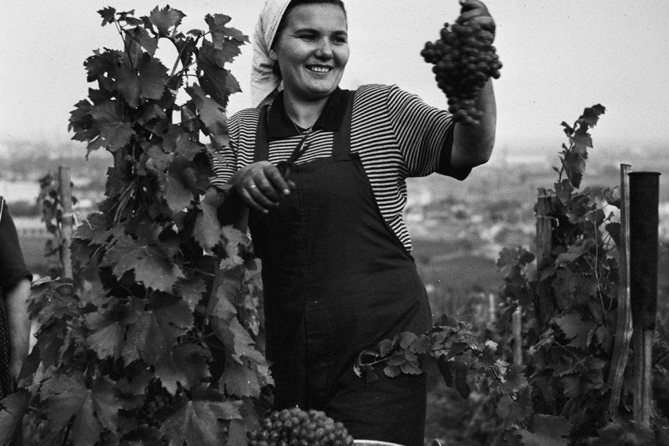 Archívne snímky: Vinobranie