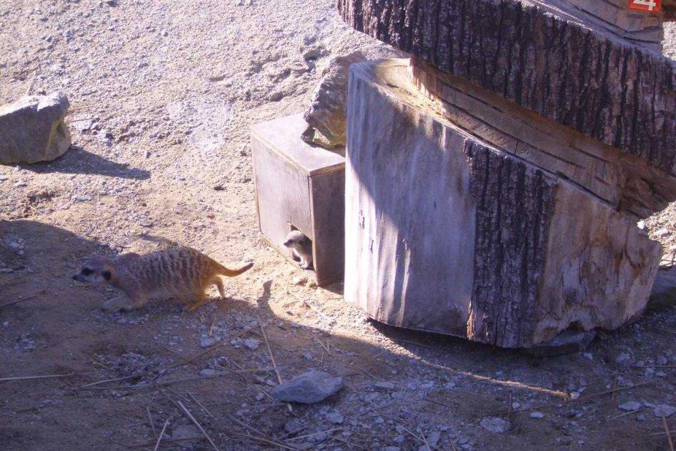 Úžasné surikaty vám spríjemnia dnešný deň