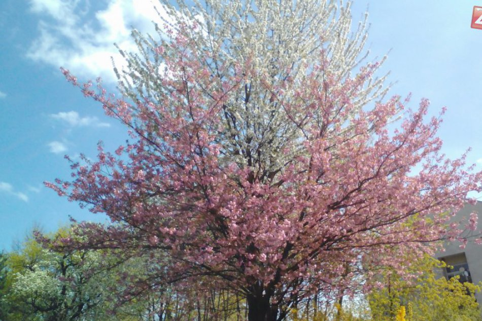 FOTO: Dvojfarebný strom rozkvitol v centre mesta