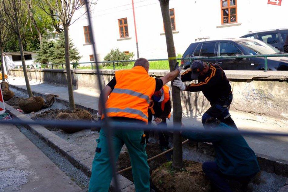 Výsadba stromov na Palackého ulici