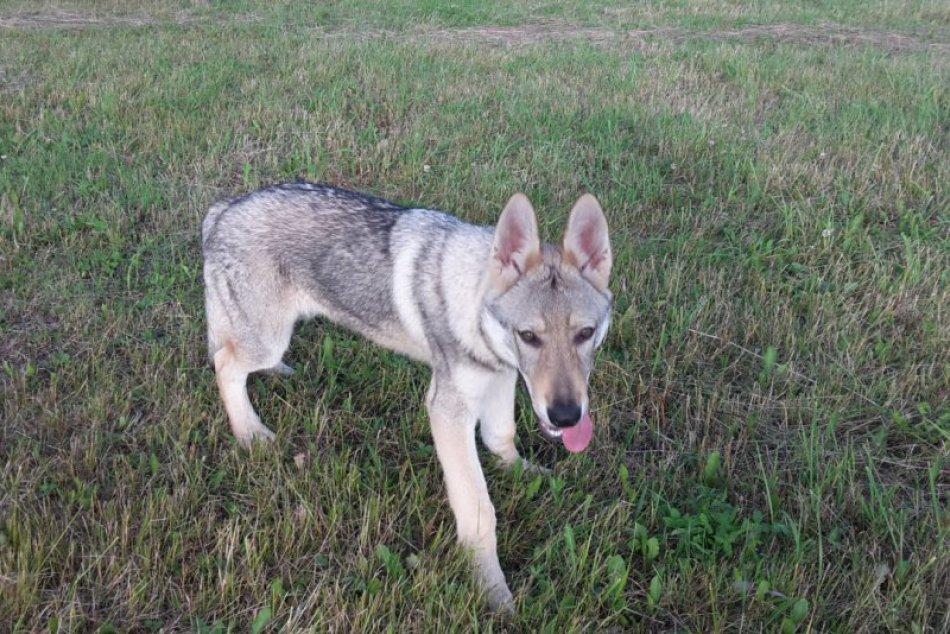Bax stratený pes