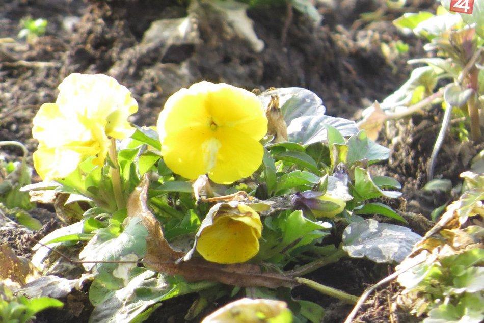 Prebúdzanie jari v centre Michaloviec: Oči obyvateľov už tešia prvé kvety, FOTO
