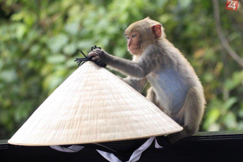 KURIOZITA DŇA: Nezbedné makaky a slušné stolovanie, čaj si vychutnali ako profíc