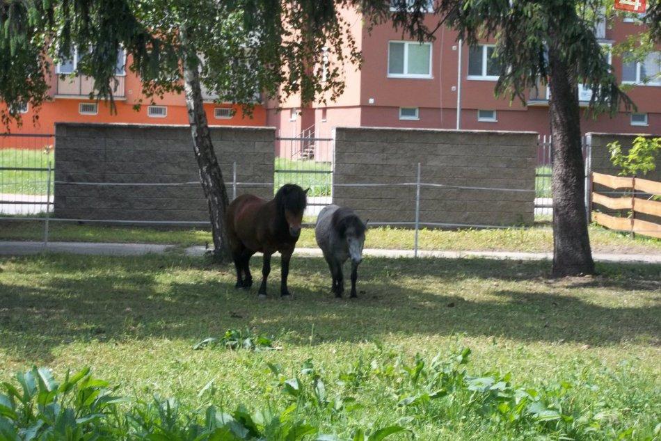 V parku už bývajú aj štvornohé zvieratká: Sú nimi sympatické poníky