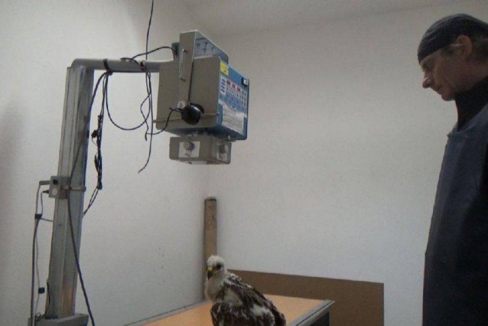 VIDEO: Nitrianski strážcovia prírody zachránili mláďa orla kráľovského