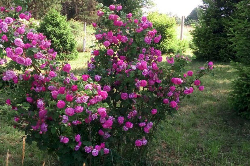 V OBRAZOCH: Dni ruží vo zvolenskom arboréte