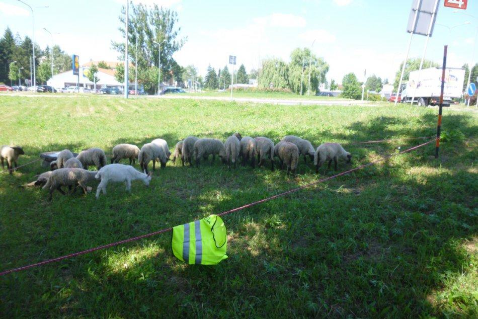 V OBRAZOCH: Mestskí policajti zaháňali ovce