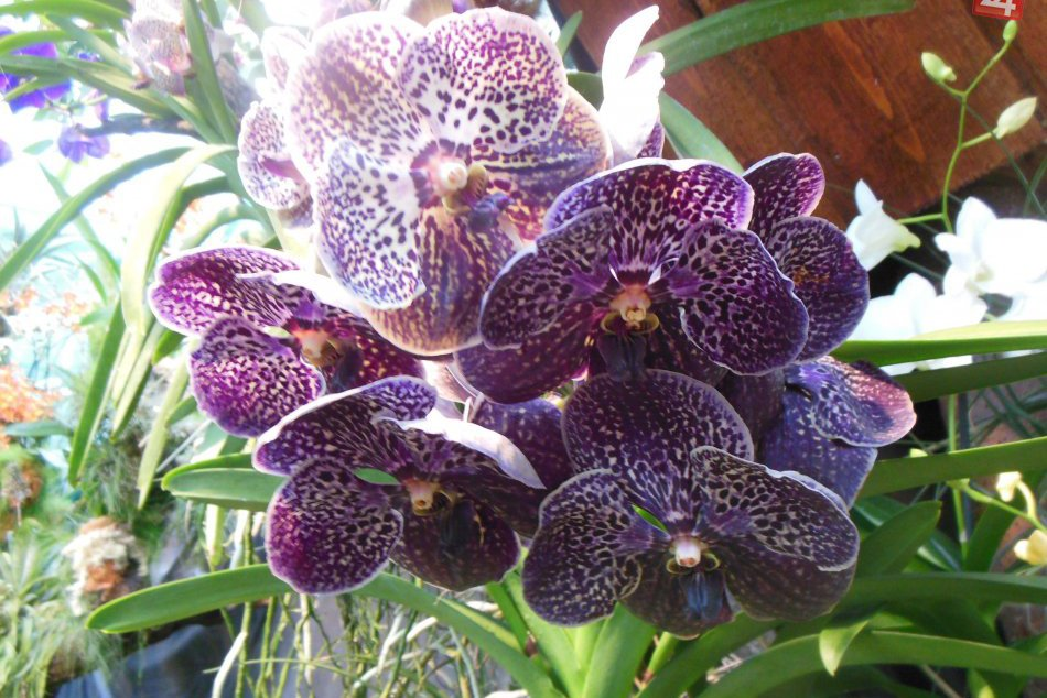 Exkluzívna výstava orchideí v košickej botanickej