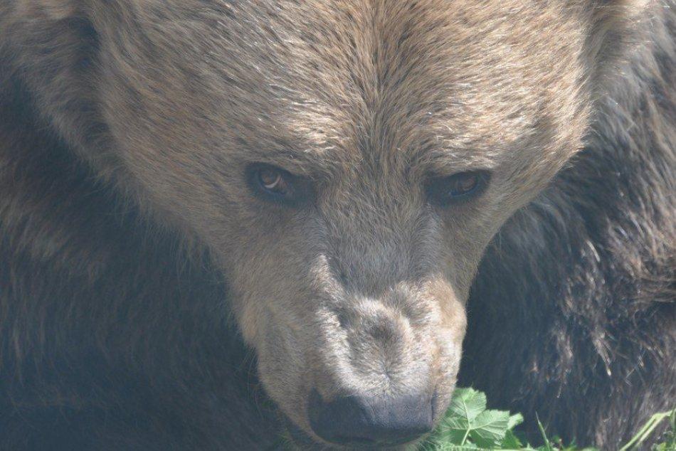 V kremnických lesoch medvede zaútočili 16 krát: Je to dôvod na paniku?