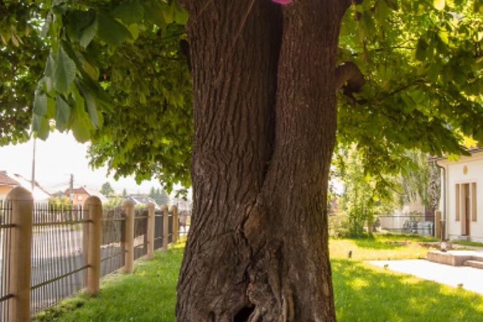 O titul Strom roka zabojuje aj tento krásavec z nášho okresu