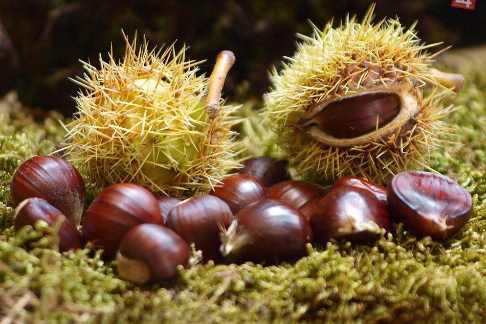 Bohatý úlovok gaštanu jedlého z Jeleneckej gaštanice
