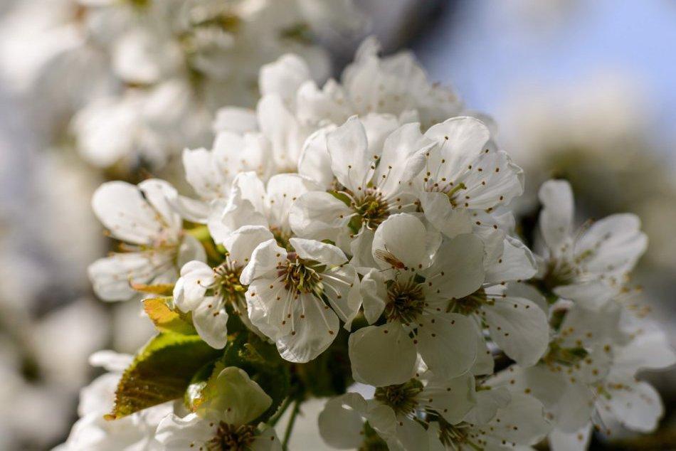 Jar sa ukázala v plnej kráse, FOTO: Úžasný pohľad na rozkvitnutý čerešňový sad