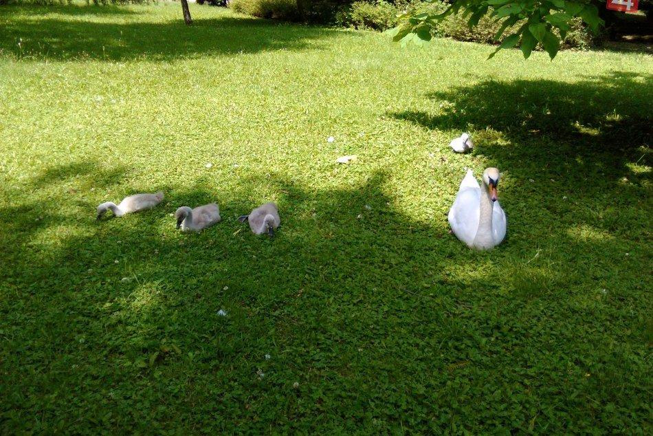 Malé labute rastú ako z vody