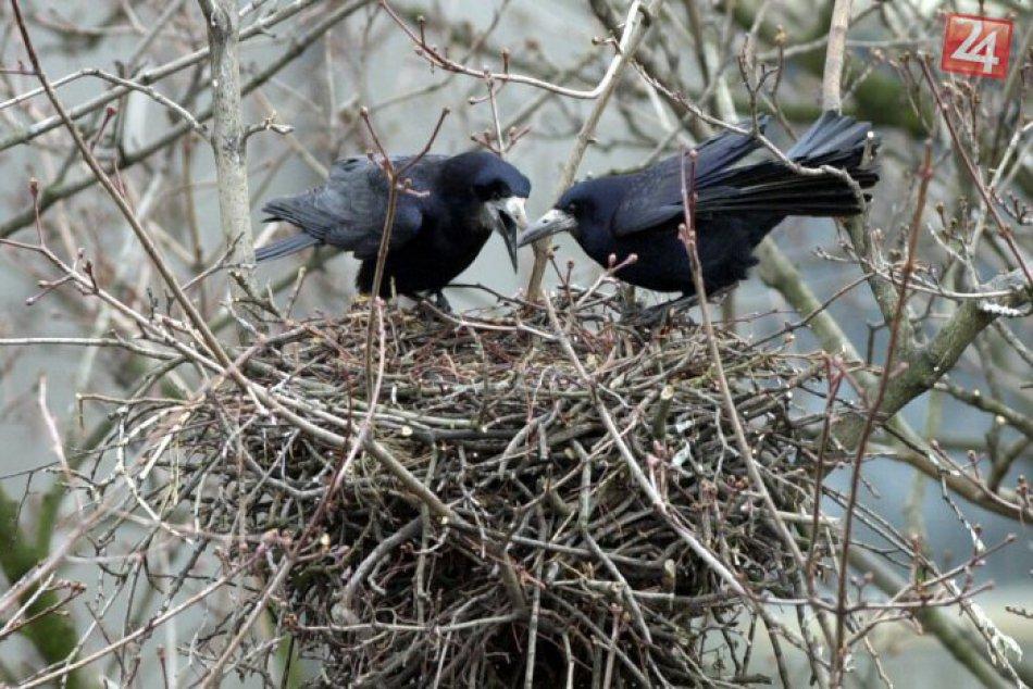 Vrany, havrany, kavky