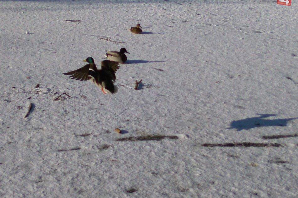 V OBRAZOCH: Mesto pomáha labutiam a kačkám prežiť tuhú zimu