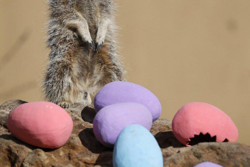 KURIOZITA DŇA: Prekvapenie pre zvedavé surikaty, v zoo našli veľkonočné vajíčka
