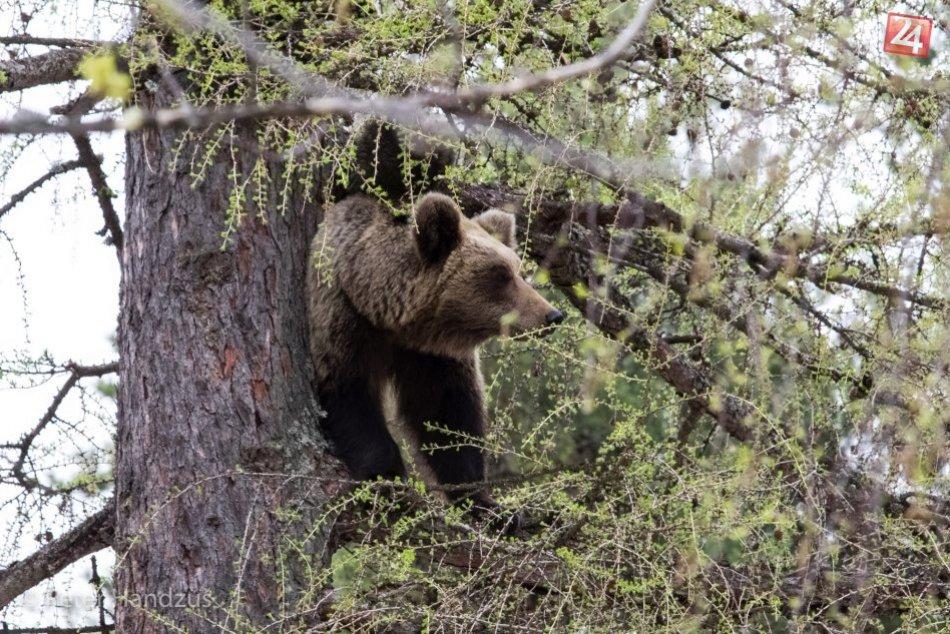Medvedia rodina na strome