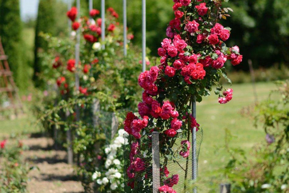 Balzam pre oči: Rozkvitnuté ruže v Arboréte Mlyňany