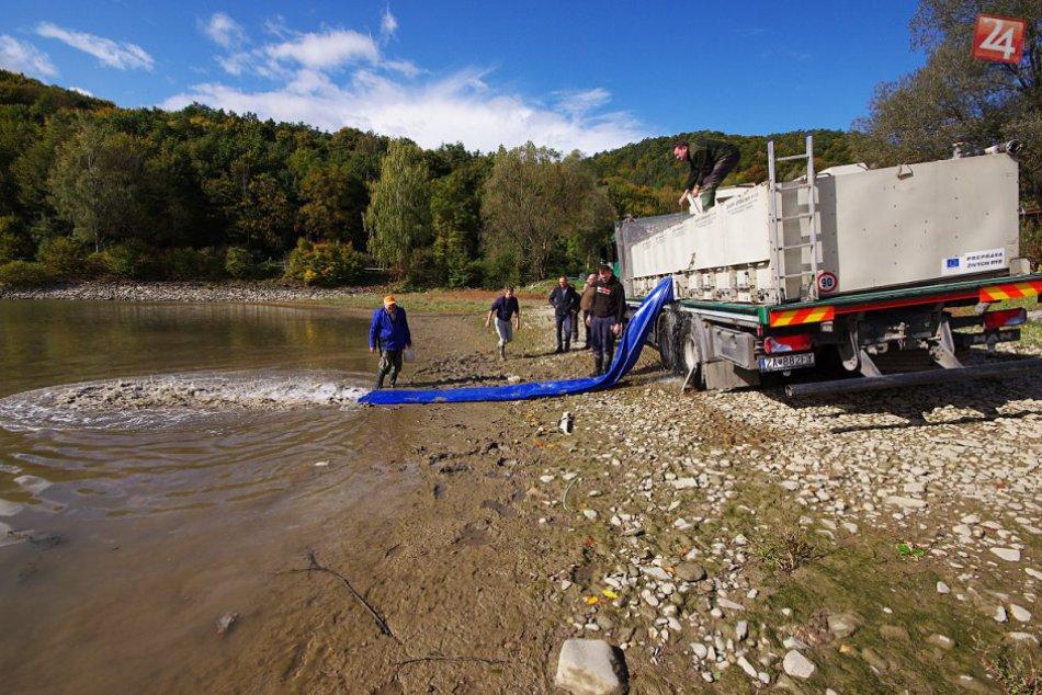 Vysádzanie kaprov: Do Nosickej priehrady vypustili tisíce rýb