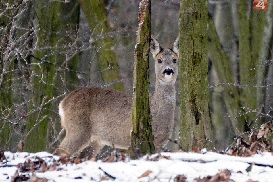 Ako trávia zimu obyvatelia lesa v okolí Kamzíka?