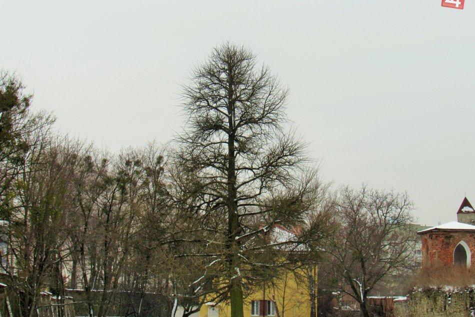 FOTOGALÉRIA: Naše mesto sa môže pochváliť aj takýmto parádnym stromom!