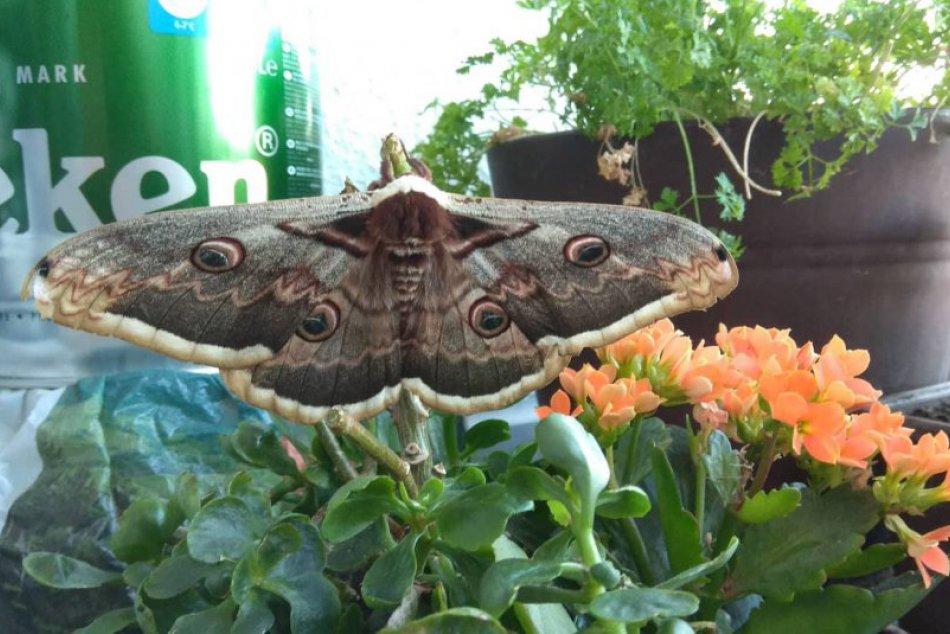 To sa len tak nevidí: Najväčší európsky motýľ pristál na balkóne v Nitre, FOTO