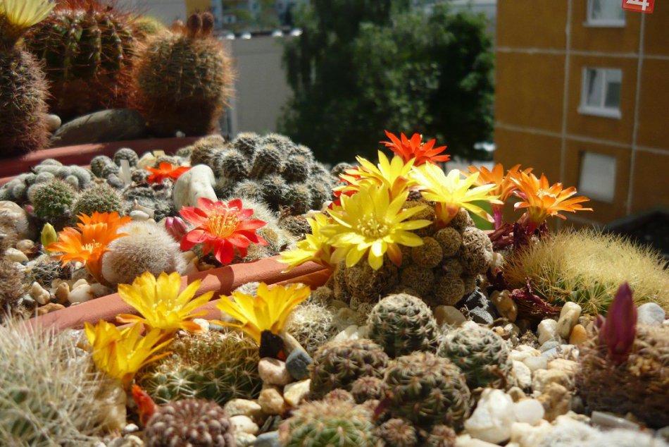 V OBRAZOCH: Mladý Bystričan má obdivuhodnú zbierku kaktusov
