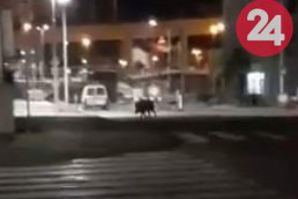 V OBRAZOCH: Diviak si to namieril priamo do centra Bystrice