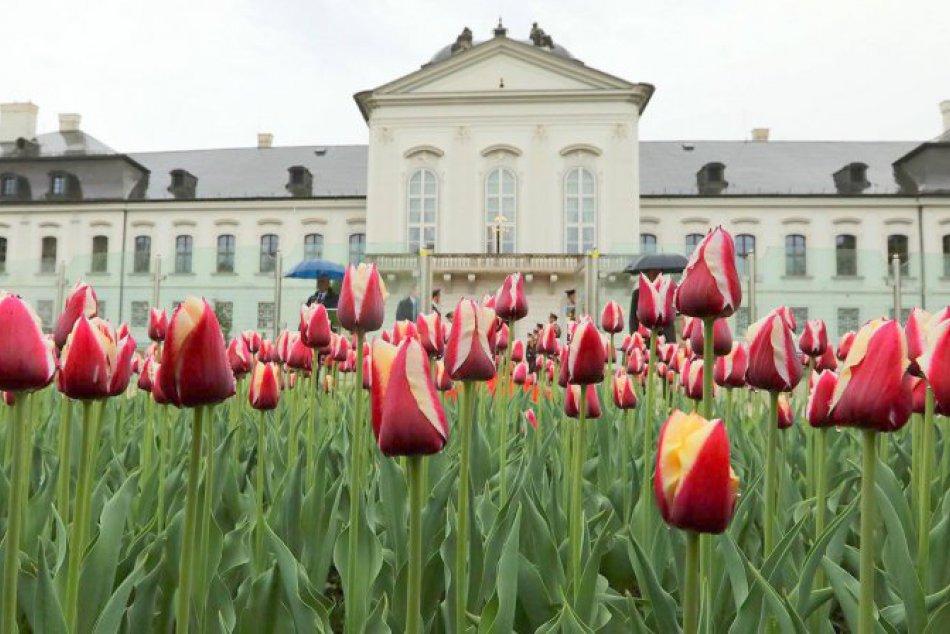 V meste pribudne 1000 kusov špeciálne vyšľachteného tulipánu