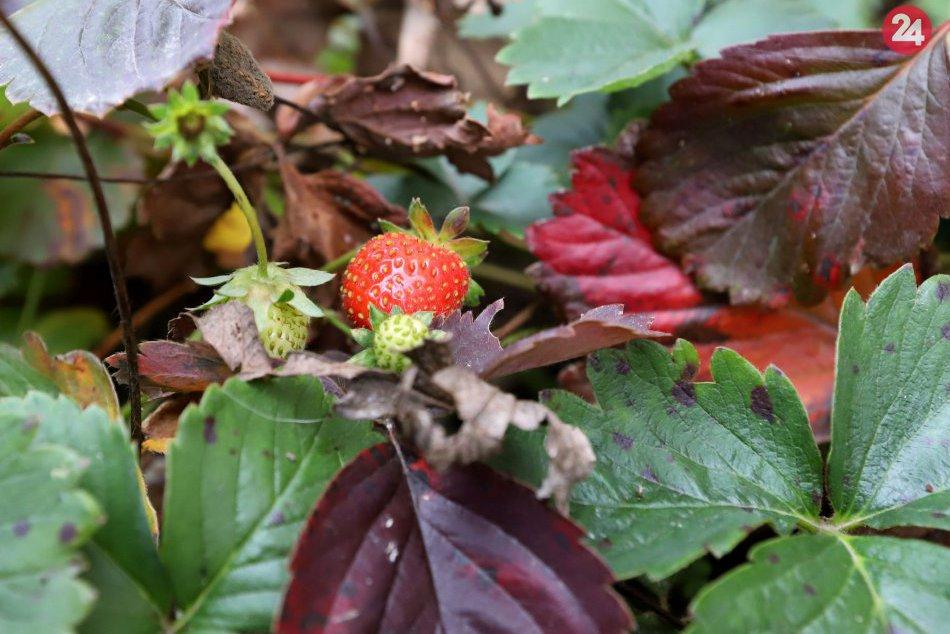 V OBRAZOCH: Vo Zvolene kvitnú kvety a jahody aj v novembri