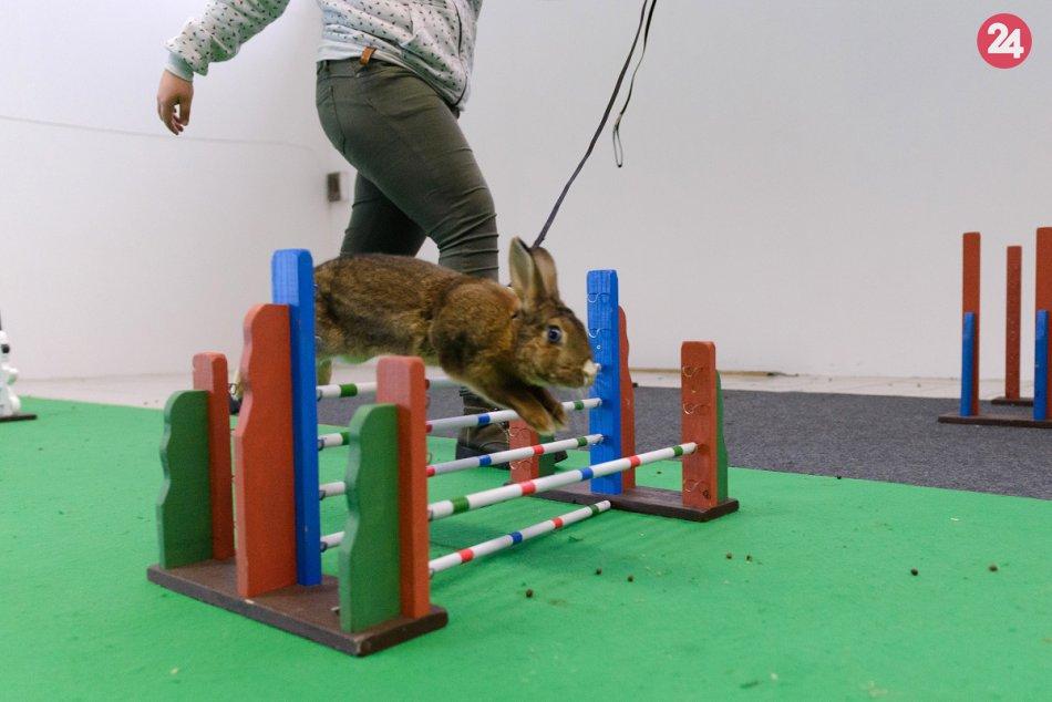 Celoštátna výstava zvierat v Nitre: Nechýbali majstrovstvá v králičom hope, FOTO