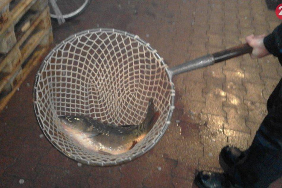 FOTO, Predsviatočná nálada v Šali stúpa: Už máte svoju vianočnú rybu?