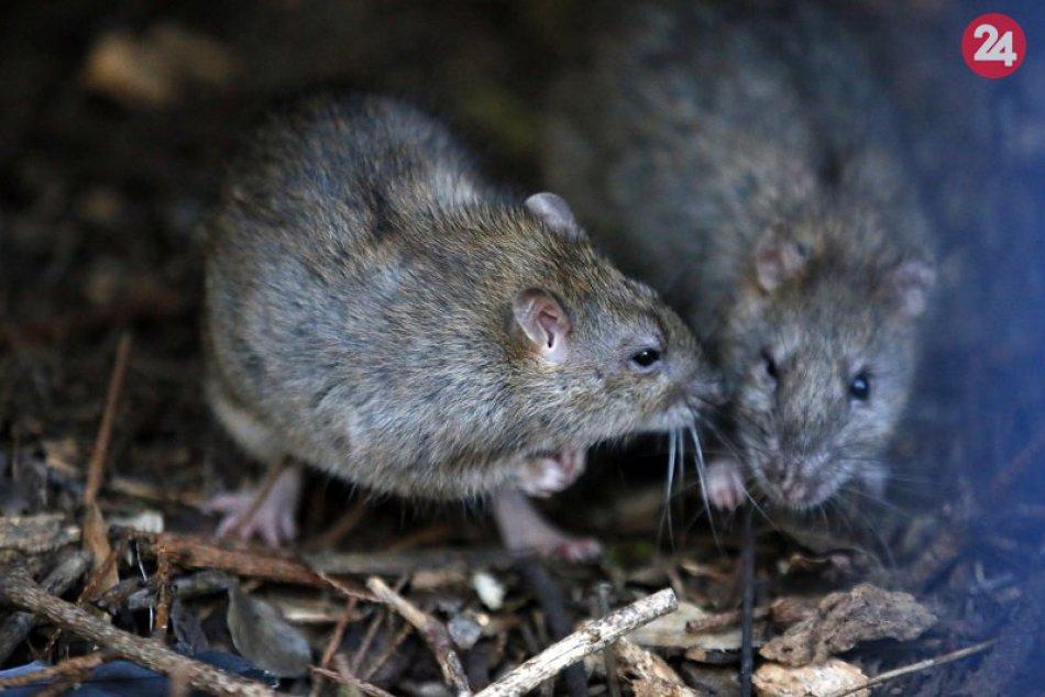 Premnožené potkany