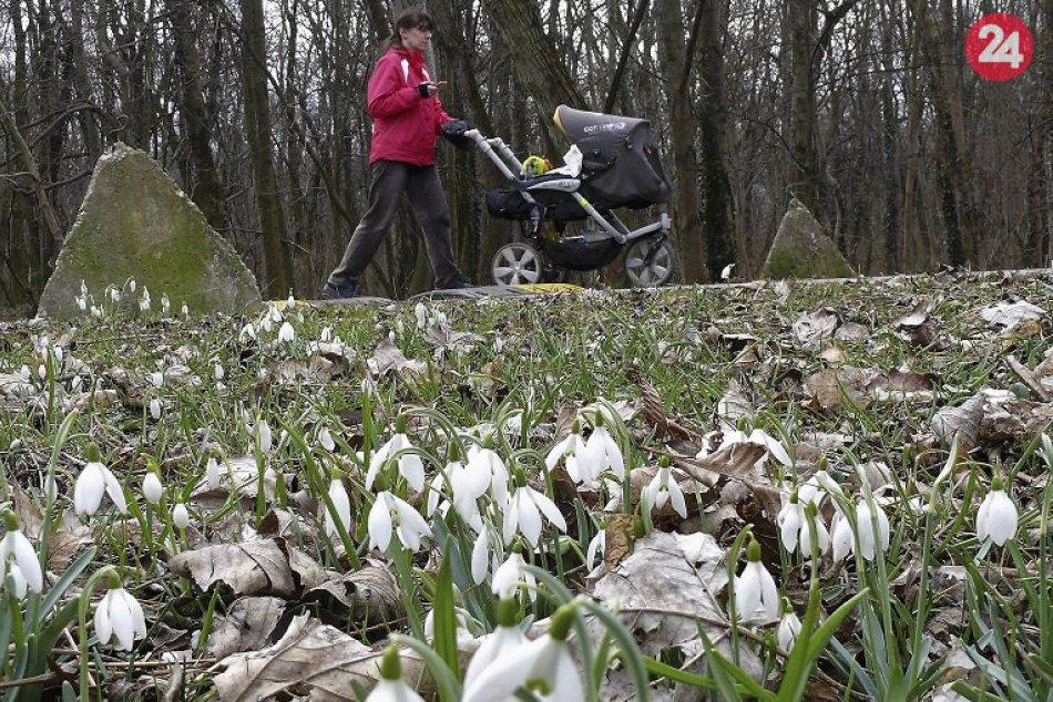 Snežienka jarná teší aj Bratislavčanov