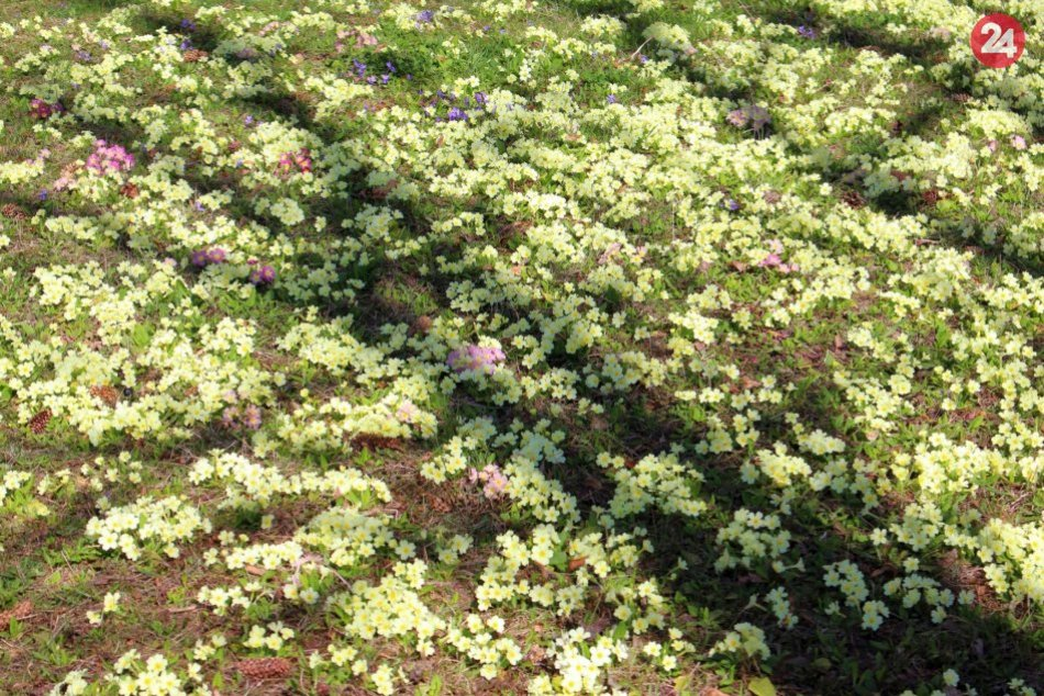 "V OBRAZOCH: Fončordu zdobí ""koberec"" z rozkvitnutých prvosienok"