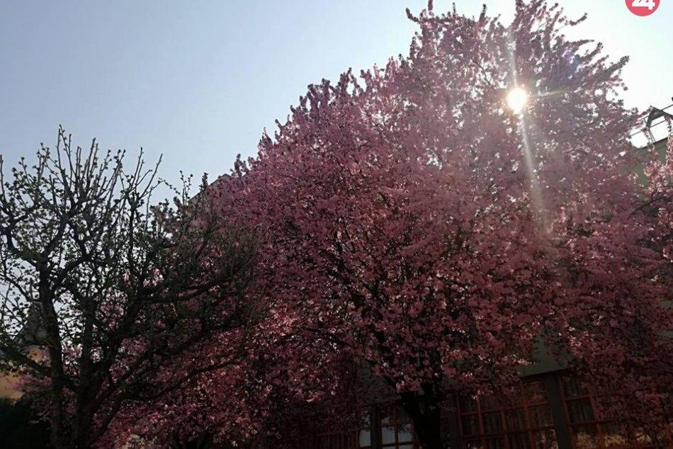 V Michalovciach sa udomácnila jar: Aj takéto pekné výjavy v našom meste ponúka
