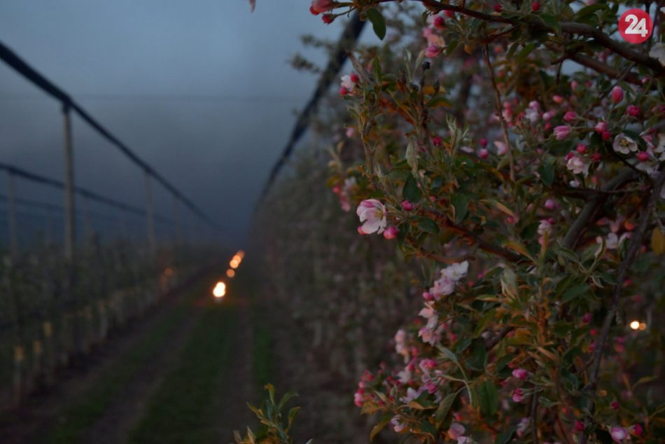 Ovocinári vo Veselom pri Piešťanoch zachraňovali úrodu pred mrazmi aj vrtuľníkom