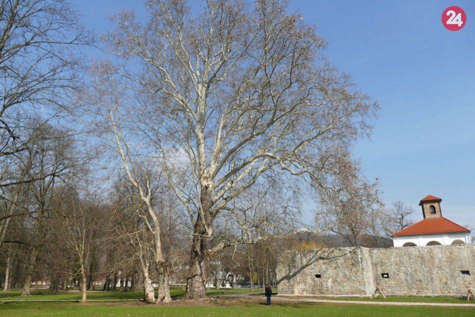Pri Budatínskom hrade rastie 250 ročný Platan javorolistý