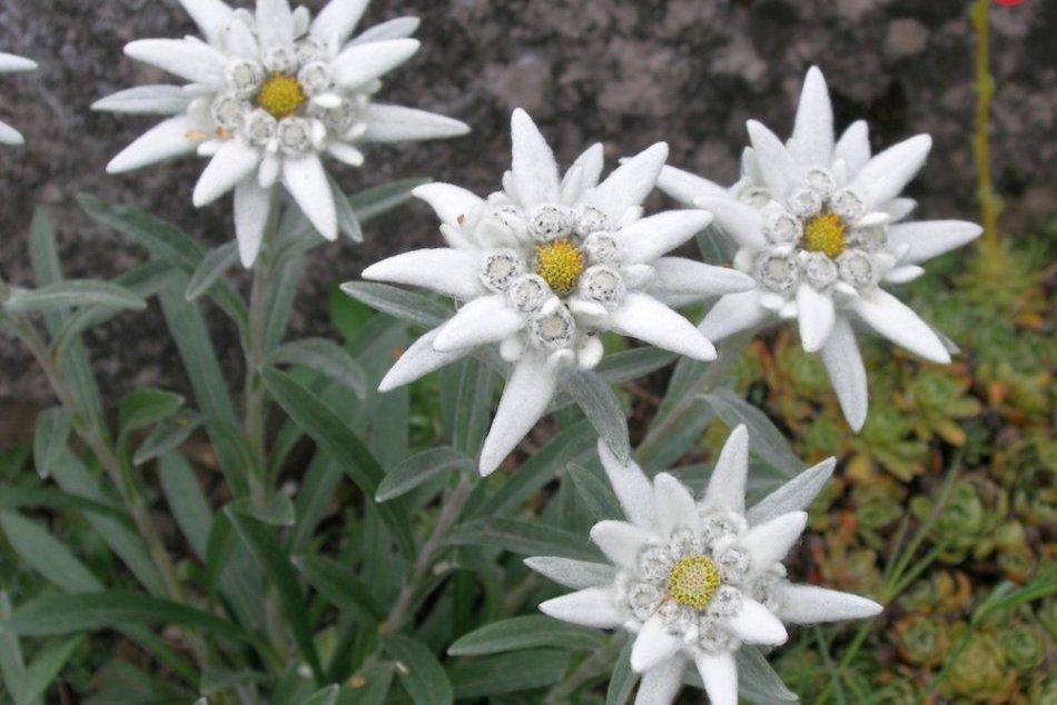 Botanická záhrada rozkvitla. Pozrite si krásu tatranskej flóry na vlastné oči