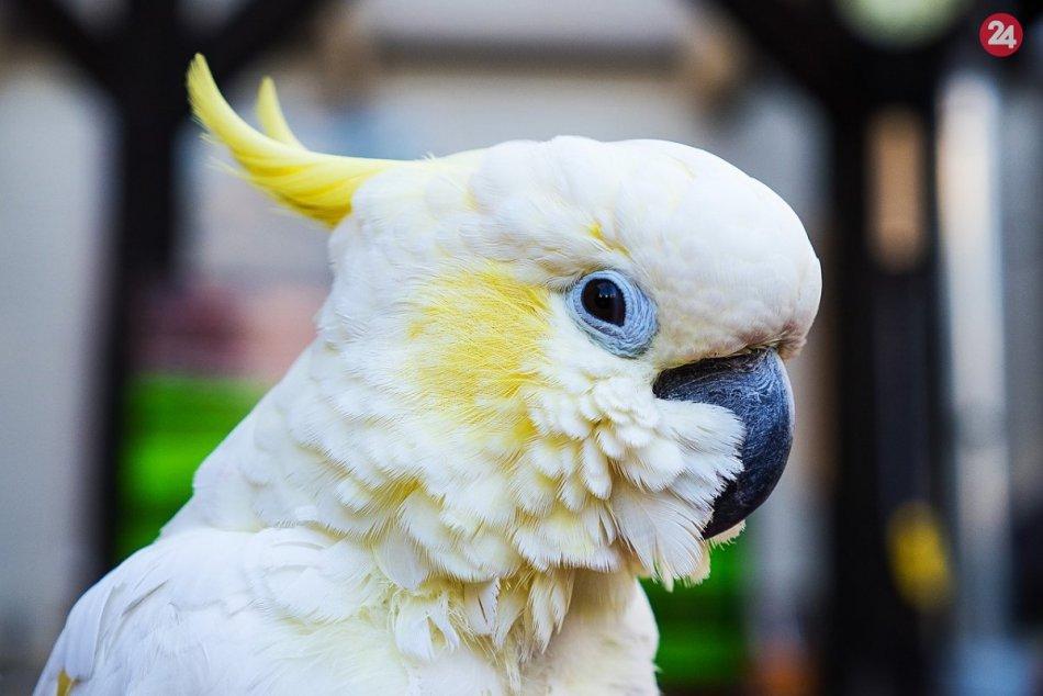 Papagáj Kakadu