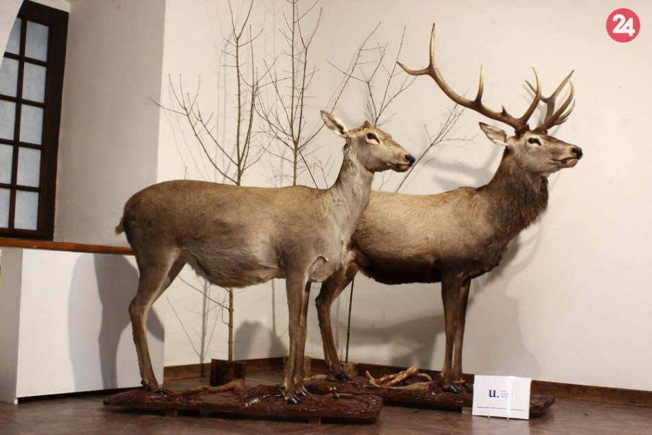Aj tieto exponáty pribudli v prírodovednej expozícii Vihorlatského múzea
