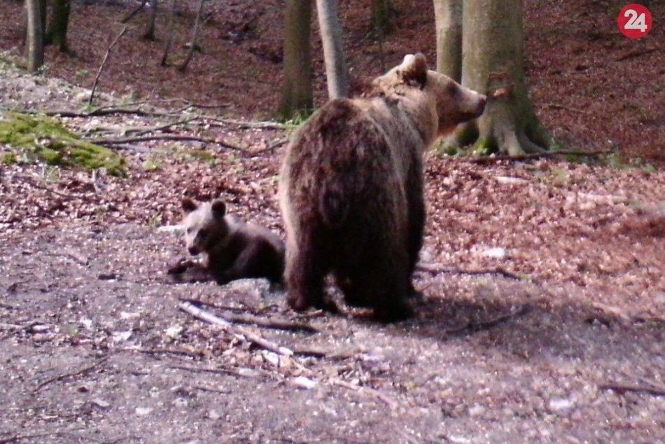 FOTO: Medvedica s troma mladými, ktoré sa vyskytujú v okolí Domaniže