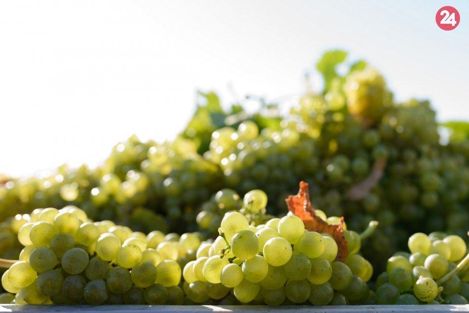 Vo vinohradoch pri Nitre je rušno: V Mojmírovciach sa začal zber hrozna, FOTO