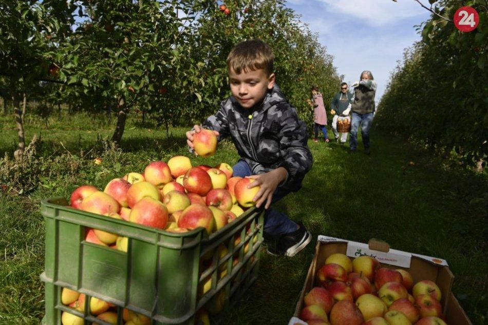 V Ostraticiach začali so samozberom jabĺk
