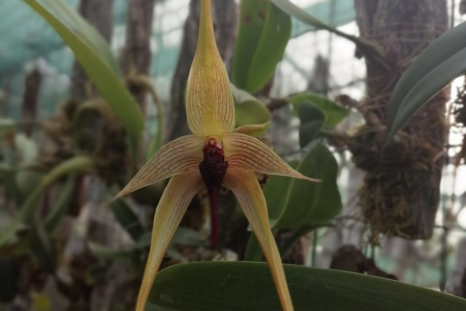 Nezvyčajné farby i vône: V Botanickej záhrade v Nitre zakvitli nové druhy orchid