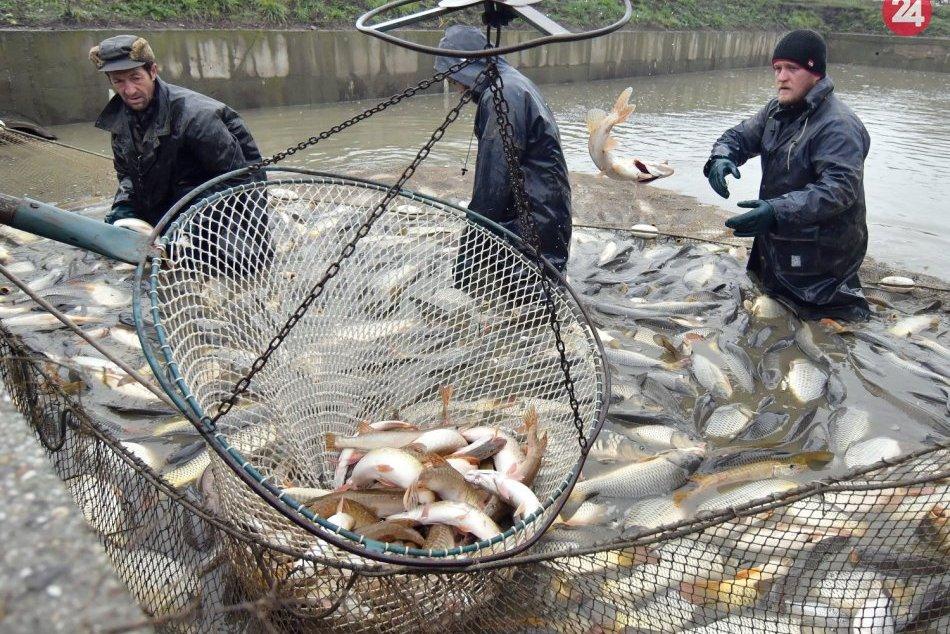 Iňačovce vylovujú ryby pre vianočný trh