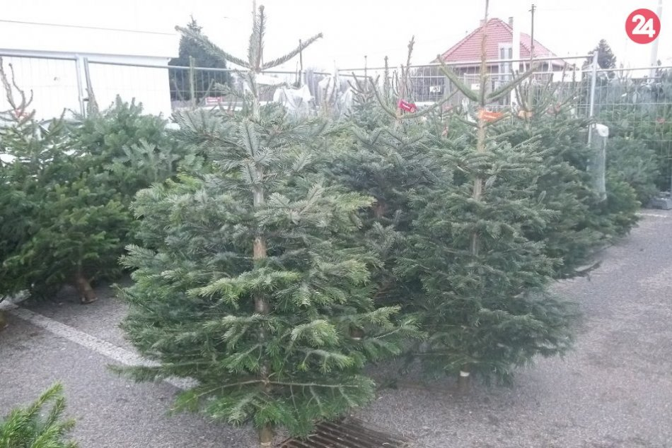 V Šali už kúpite vianočné stromčeky: Nezabudnite ani na imelo, FOTO