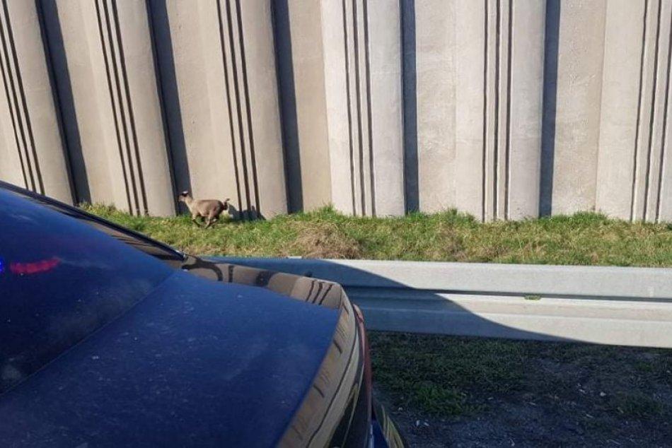 Obrazom: Kuriozita na diaľnici D1, chytali tam ovečky