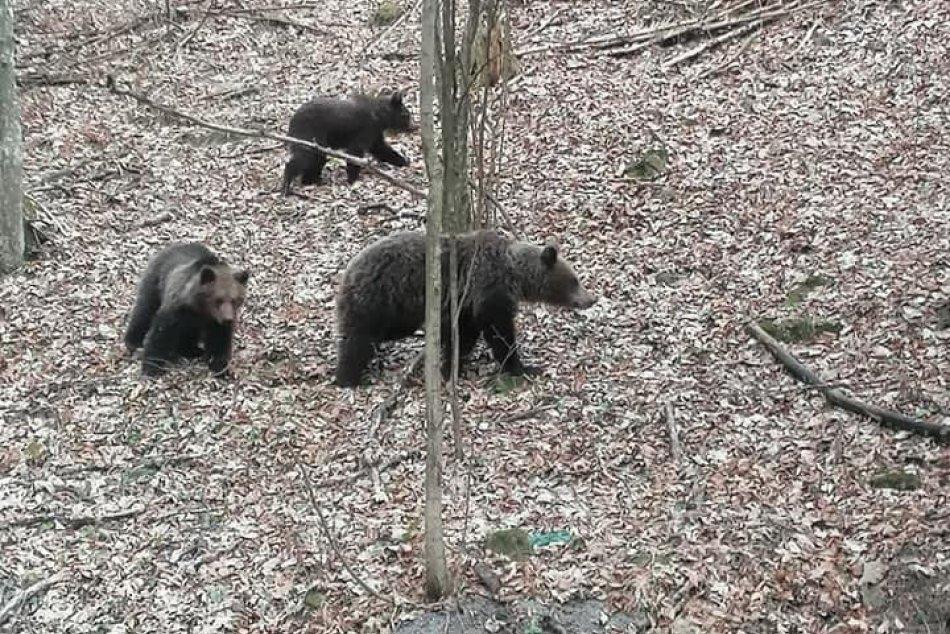 FOTO: Medvedia rodinka na prechádzke pri Kremnici